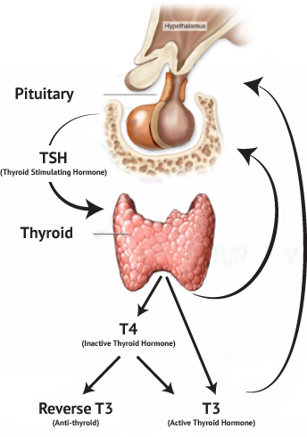 Thyroid-Physiology-TSH