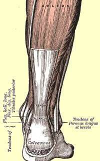 Achilles_tendon