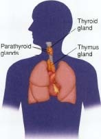 What-Are-The-T-Regulatory-Cells-Roles-In-Thyroid-Disease