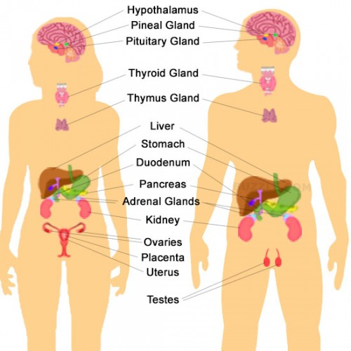Endocrine Systems Buzzle