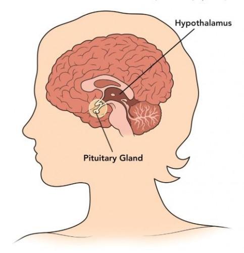 Hypothalamuspituitarygland